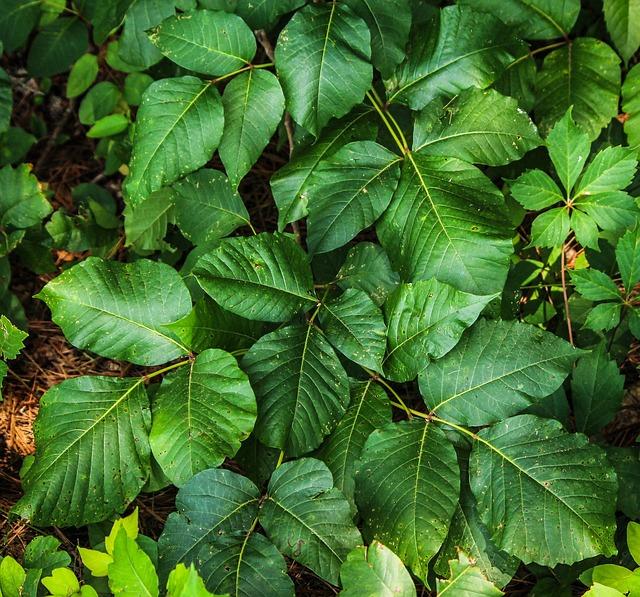 poison-ivy-195123_640