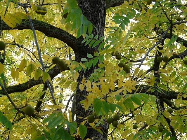 black-walnut-61599_640